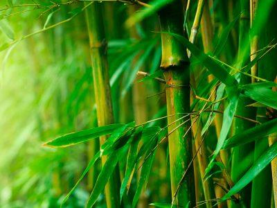História do Bambu